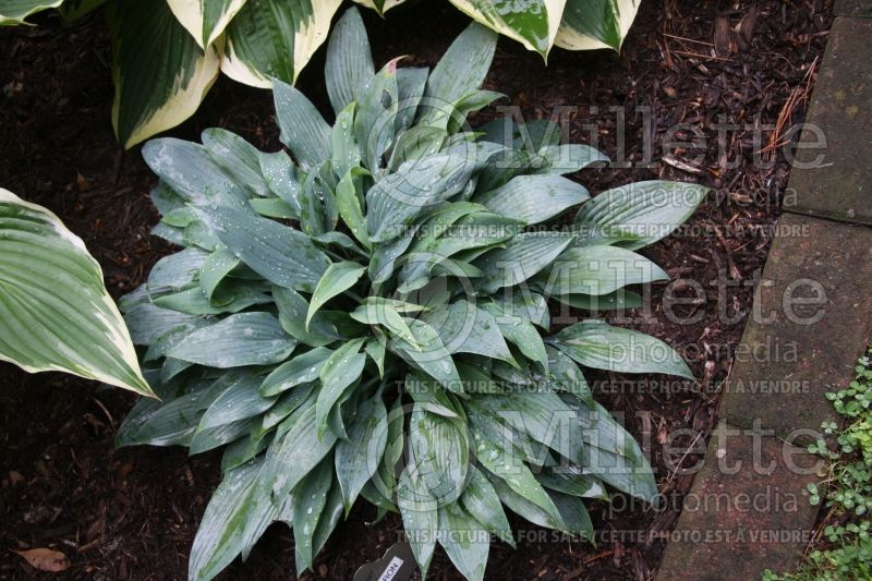 Hosta Blue Baron (Hosta funkia august lily) 1
