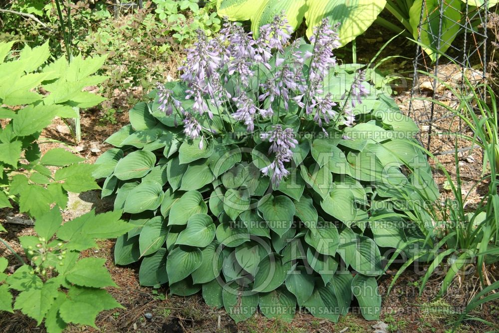 Hosta Blue Belle (Hosta funkia august lily) 2