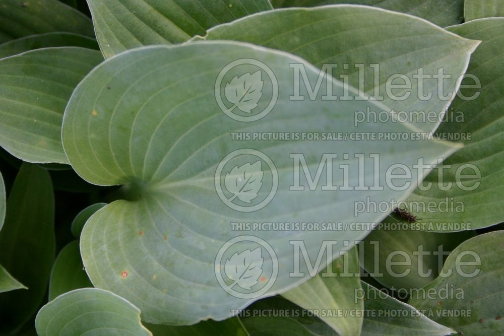 Hosta Blue Cadet (Hosta funkia august lily) 5