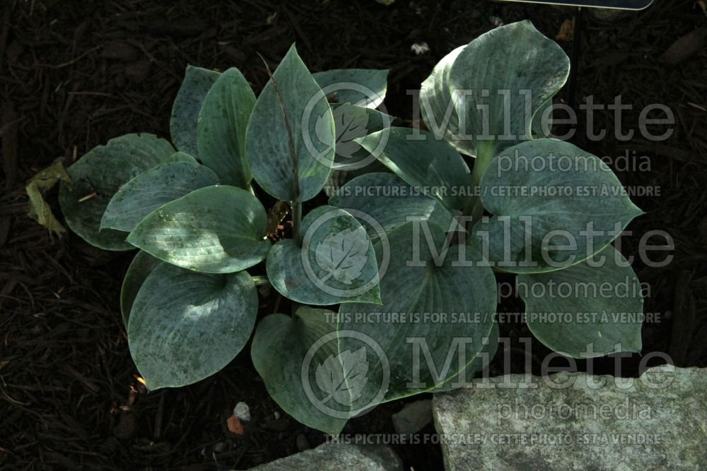 Hosta Blue Clown (Hosta funkia august lily) 1