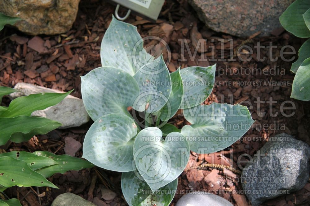 Hosta Blue Ice (Hosta funkia august lily) 2