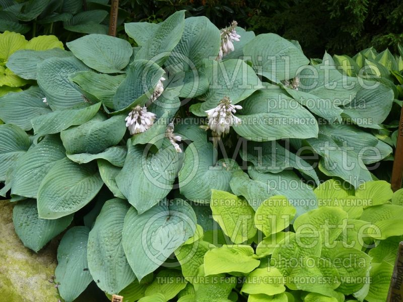 Hosta Blue Mammoth (Hosta funkia august lily) 3