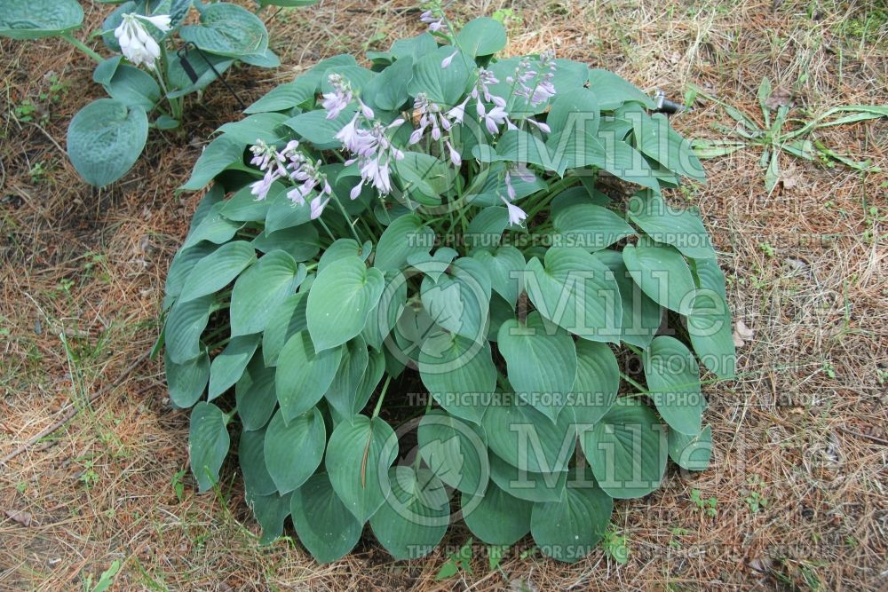 Hosta Blue Wedgewood (Hosta funkia august lily) 1