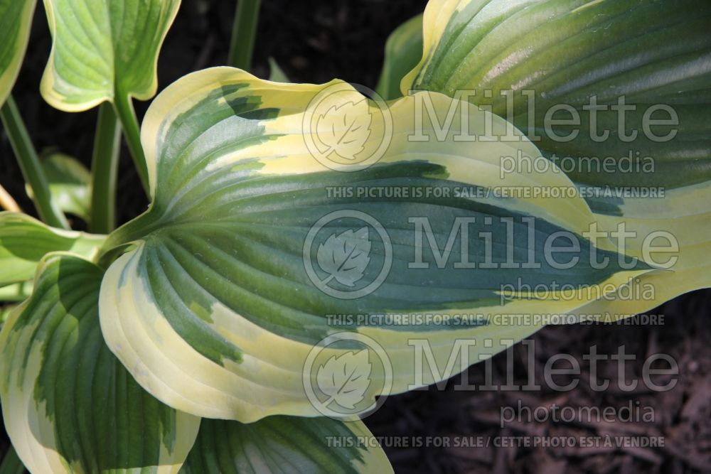 Hosta Broadband (Hosta funkia august lily) 1