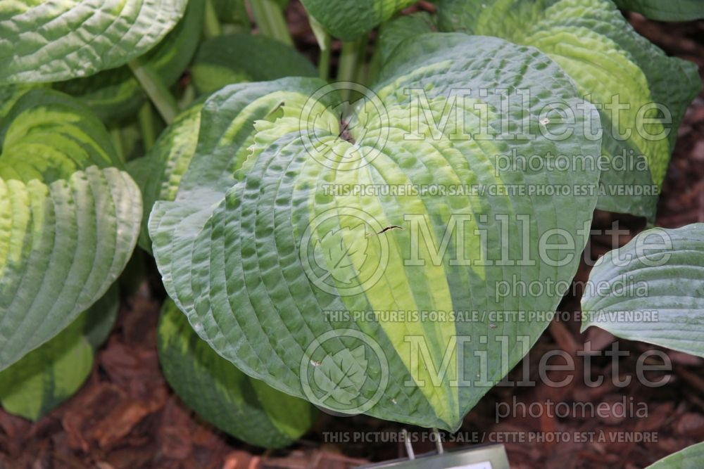 Hosta Brother Stefan (Hosta funkia august lily) 4