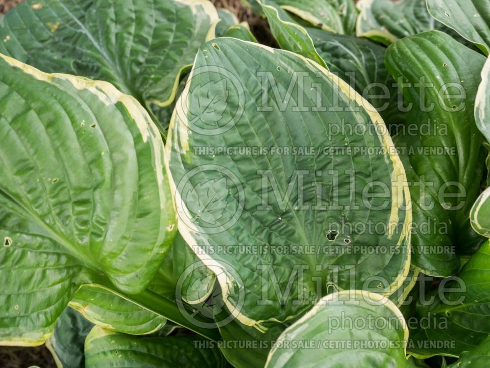 Hosta Christmas Tree (Hosta funkia august lily) 3