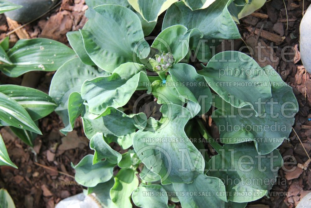 Hosta Church Mouse (Hosta funkia august lily) 2