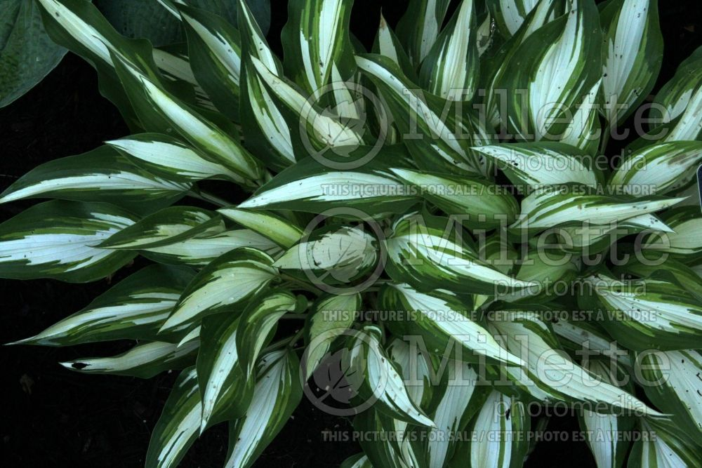 Hosta Cool as a Cucumber (Hosta funkia august lily) 1