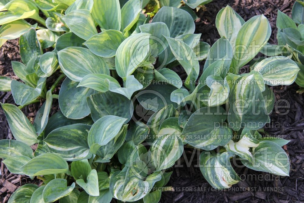 Hosta Crazy Quilt (Hosta funkia august lily) 1