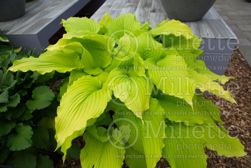 Hosta Dancing Queen  (Hosta funkia august lily) 7