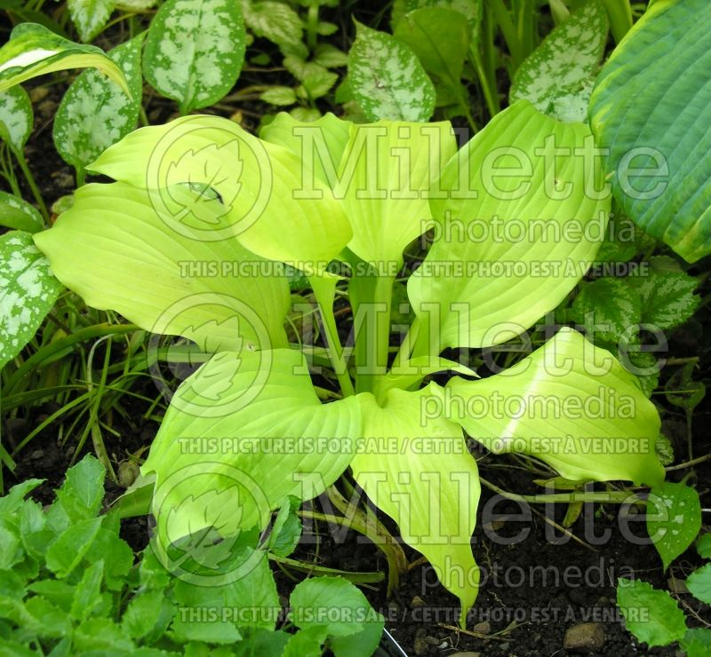 Hosta Dancing Queen  (Hosta funkia august lily) 2