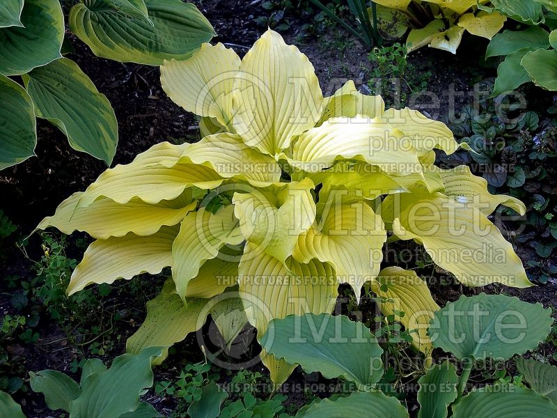 Hosta Dancing Queen  (Hosta funkia august lily) 3