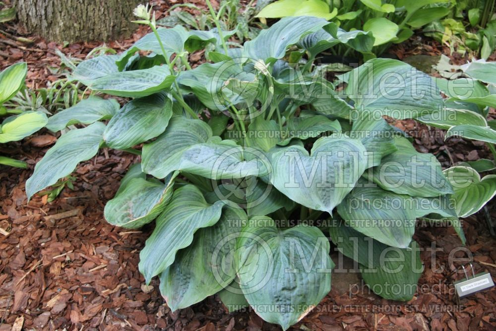 Hosta Dark Shadows (Hosta funkia august lily) 1