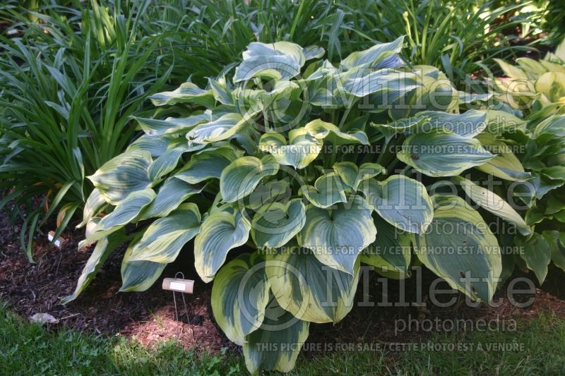 Hosta Earth Angel (Hosta funkia august lily) 4