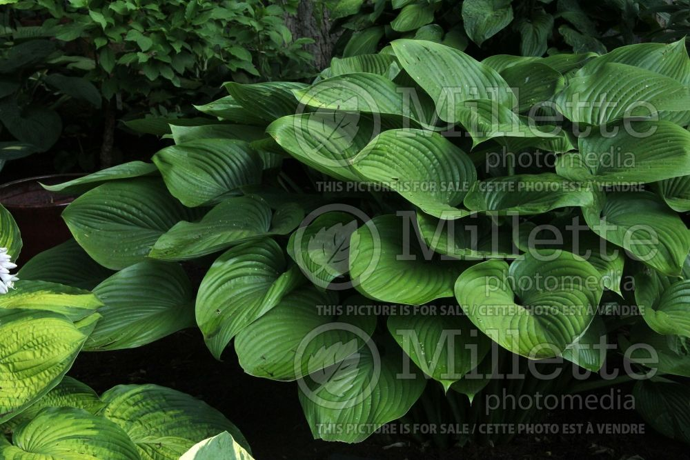 Hosta Elatior (Hosta funkia august lily) 1