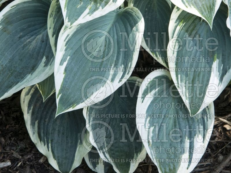 Hosta El Nino (Hosta funkia august lily) 7