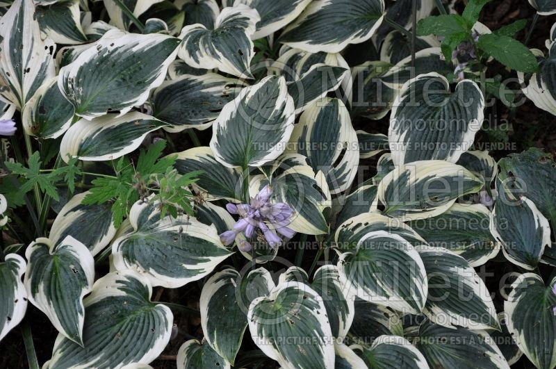 Hosta El Nino (Hosta funkia august lily) 2