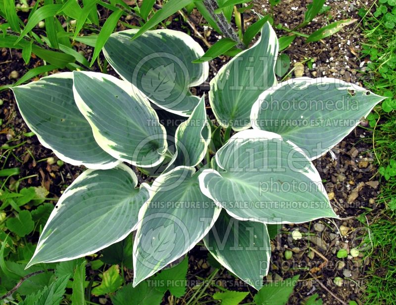 Hosta El Nino (Hosta funkia august lily) 3