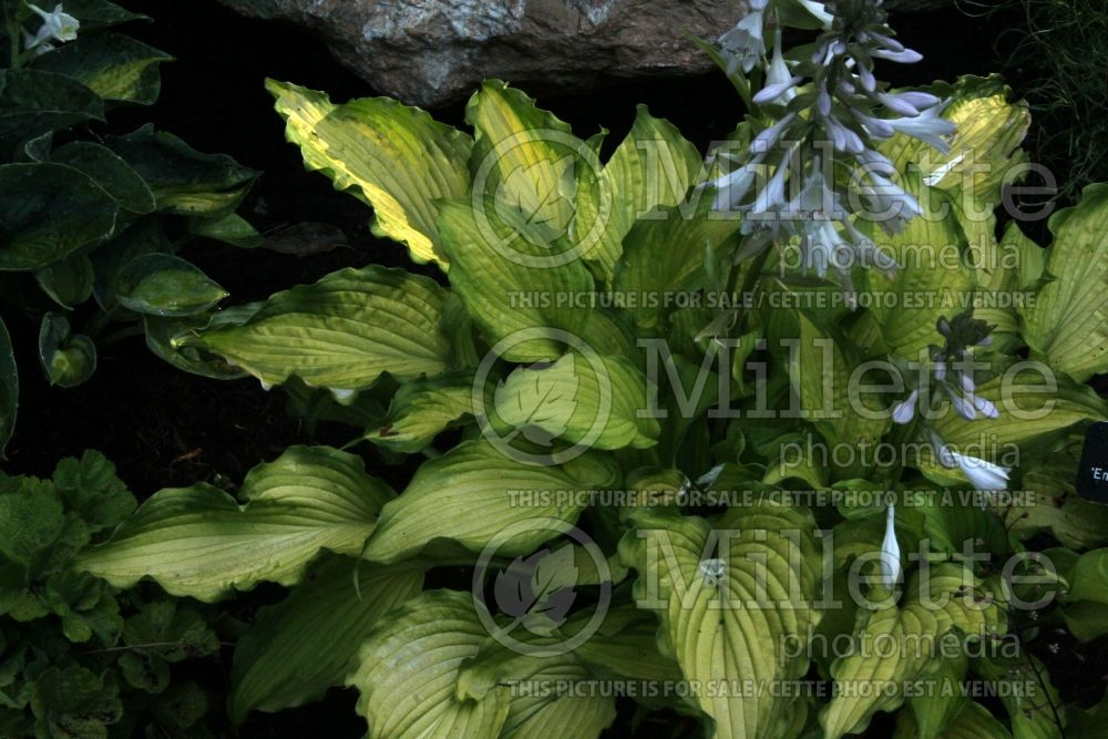 Hosta Emerald Ruff Cut (Hosta funkia august lily) 5