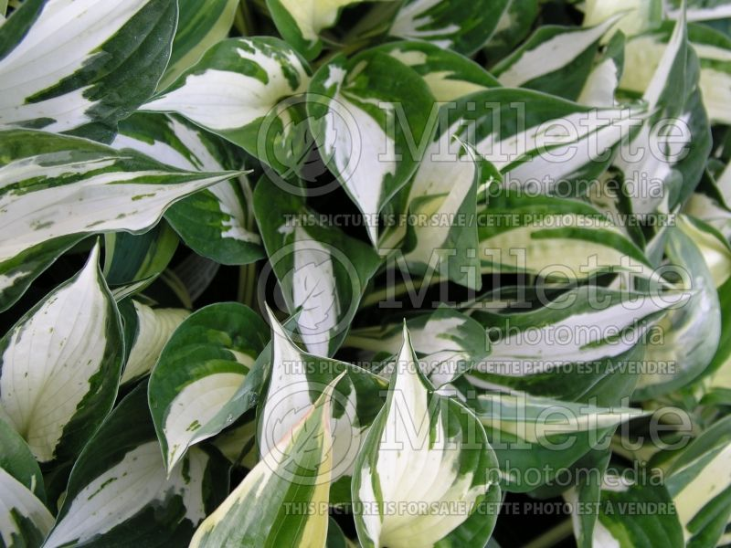Hosta Eternal Flame (Hosta funkia august lily) 1