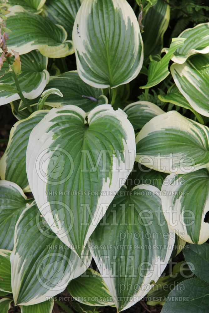 Hosta Fantabulous (Hosta funkia august lily)  2