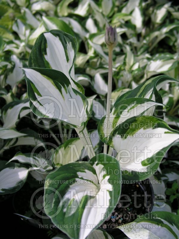 Hosta Fire and Ice (Hosta funkia august lily) 2