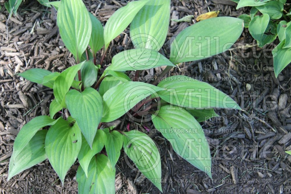 Hosta First Blush (Hosta funkia august lily) 1