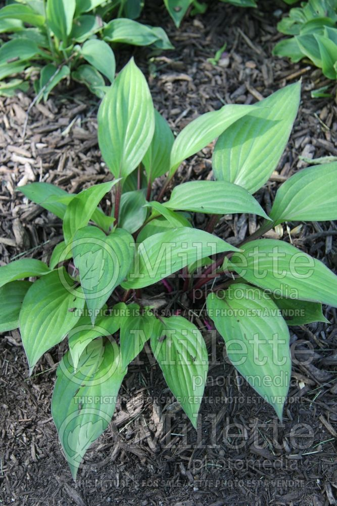 Hosta First Blush (Hosta funkia august lily) 2