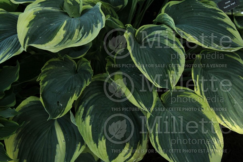 Hosta Flemish Angel (Hosta funkia august lily) 1