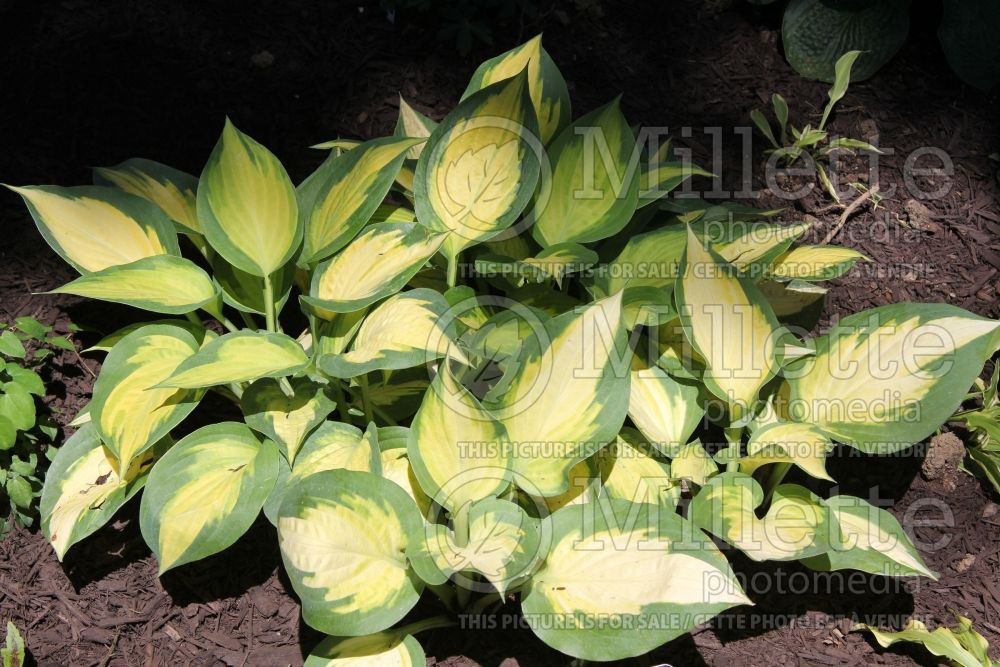 Hosta Forbidden Fruit (Hosta funkia august lily)  3
