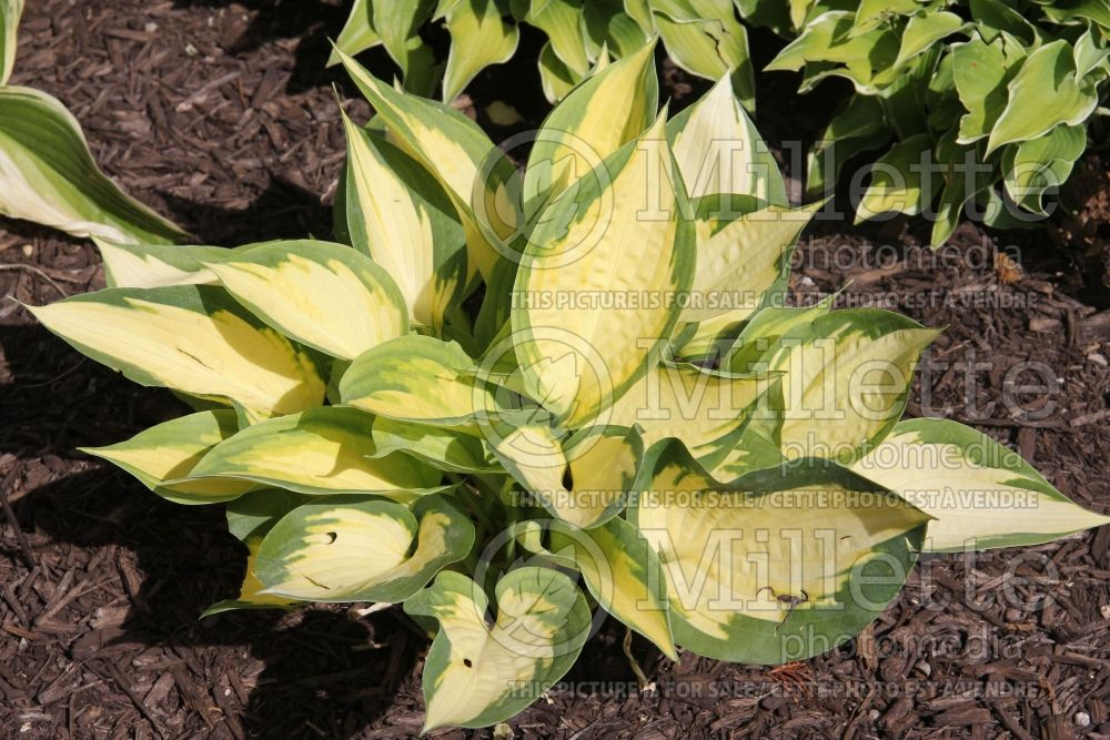 Hosta Forbidden Fruit (Hosta funkia august lily)  4