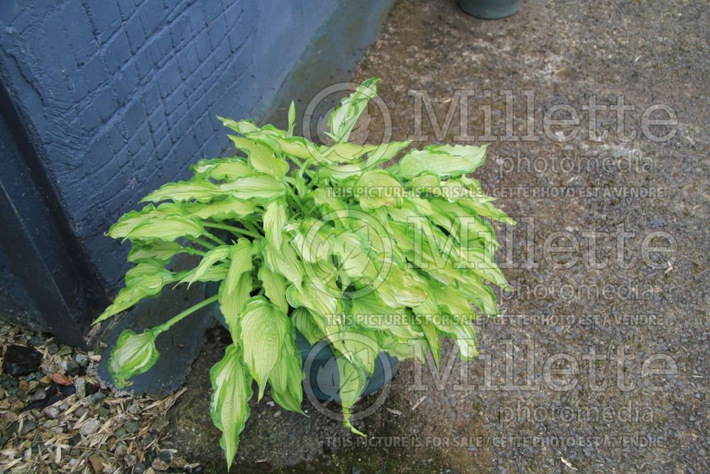 Hosta Fortunei Albopicta (Hosta funkia august lily) 2