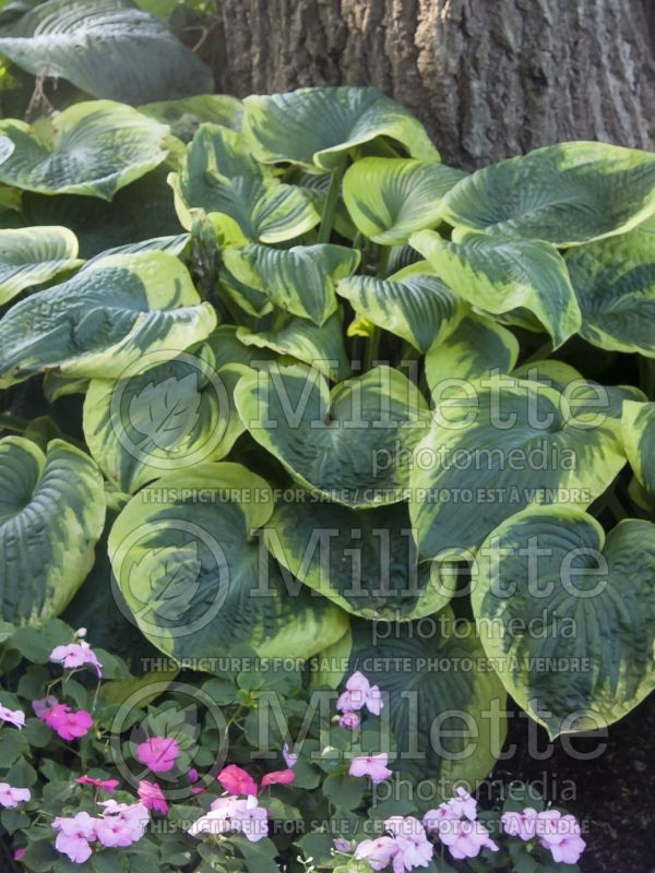 Hosta Frances Williams (Hosta funkia august lily) 5