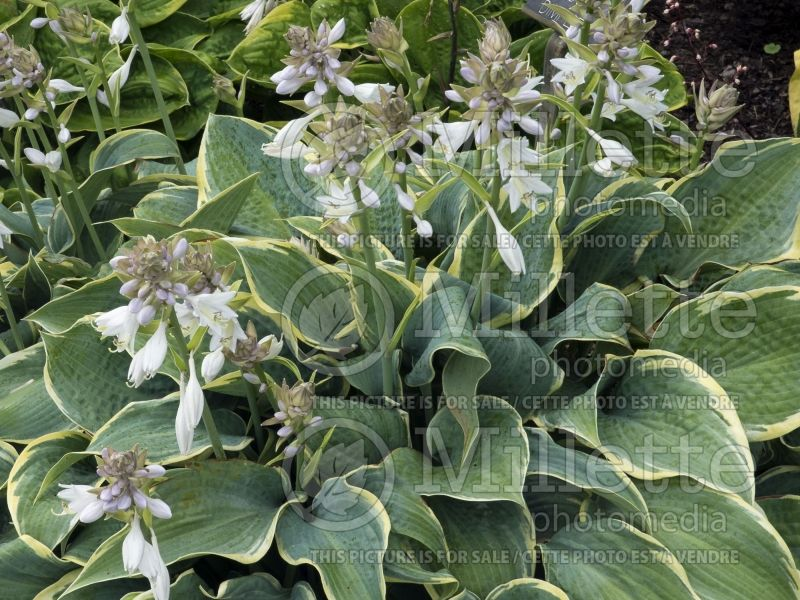 Hosta Frosted Dimples (Hosta funkia) 3