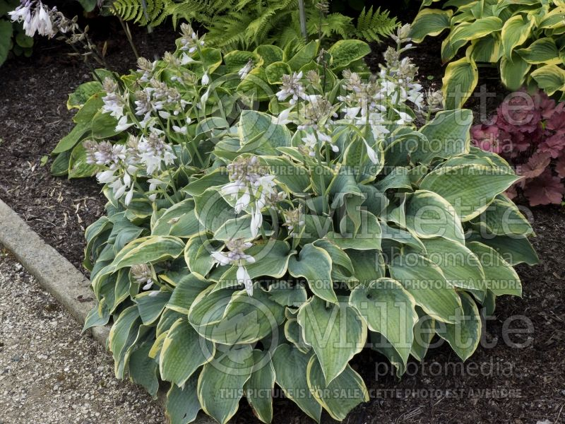 Hosta Frosted Dimples (Hosta funkia) 4