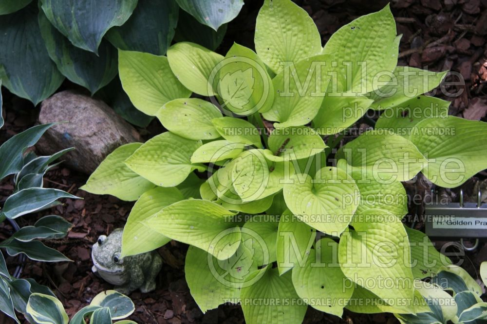 Hosta Golden Prayers (Hosta funkia august lily) 2
