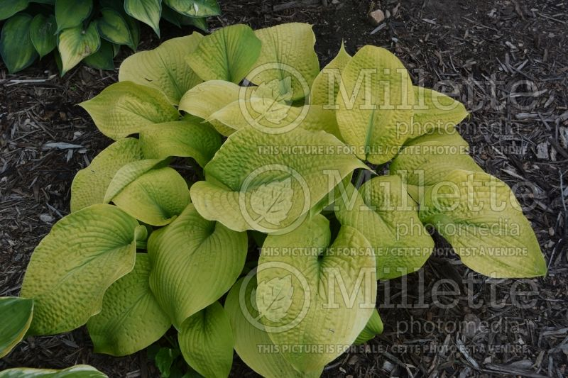 Hosta Golden Sculpture (Hosta funkia august lily) 2