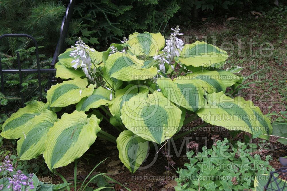 Hosta Goodness Gracious (Hosta funkia august lily) 4