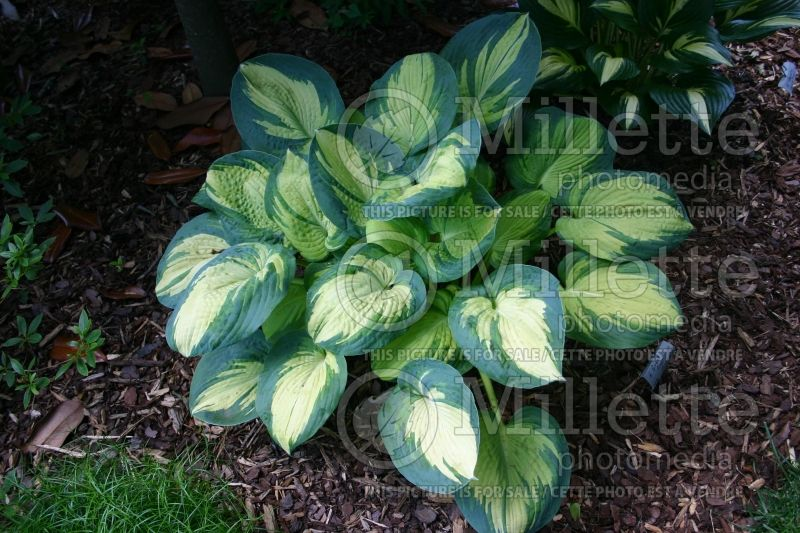 Hosta Great American Expectation (Hosta funkia august lily) 1
