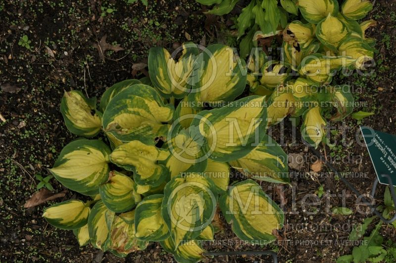 Hosta Great American Expectation (Hosta funkia august lily) 2
