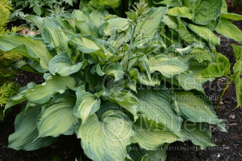 Hosta Guardian Angel (Hosta funkia august lily) 4