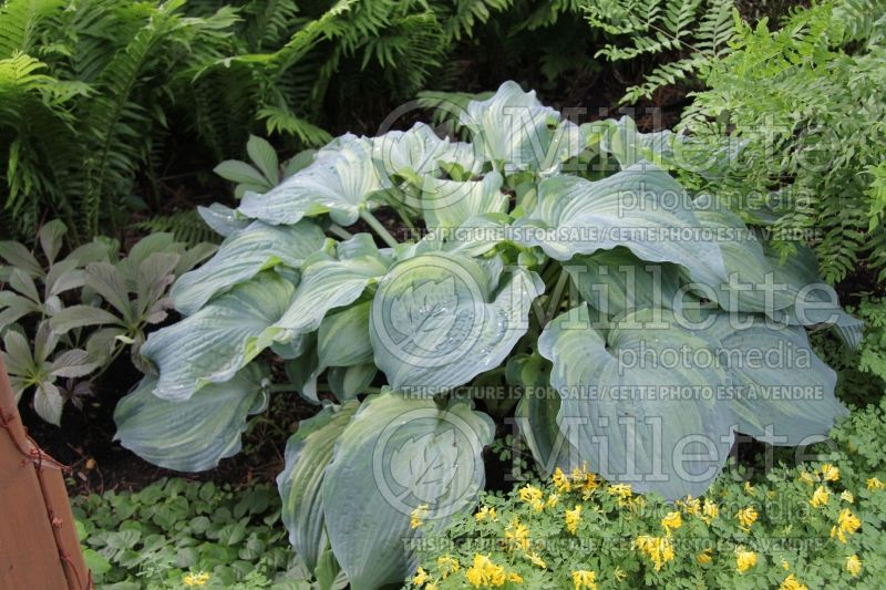 Hosta Guardian Angel (Hosta funkia august lily) 5
