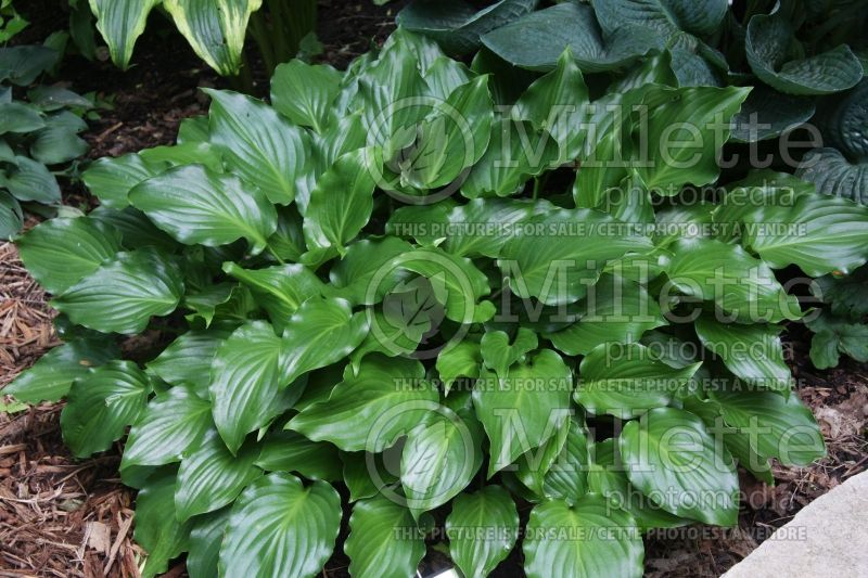 Hosta Invincible (Hosta funkia august lily)  2
