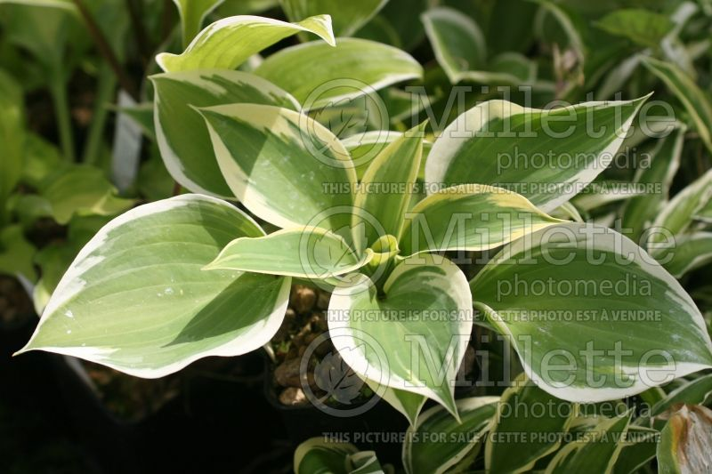 Hosta Ivory Coast (Hosta funkia august lily) 1