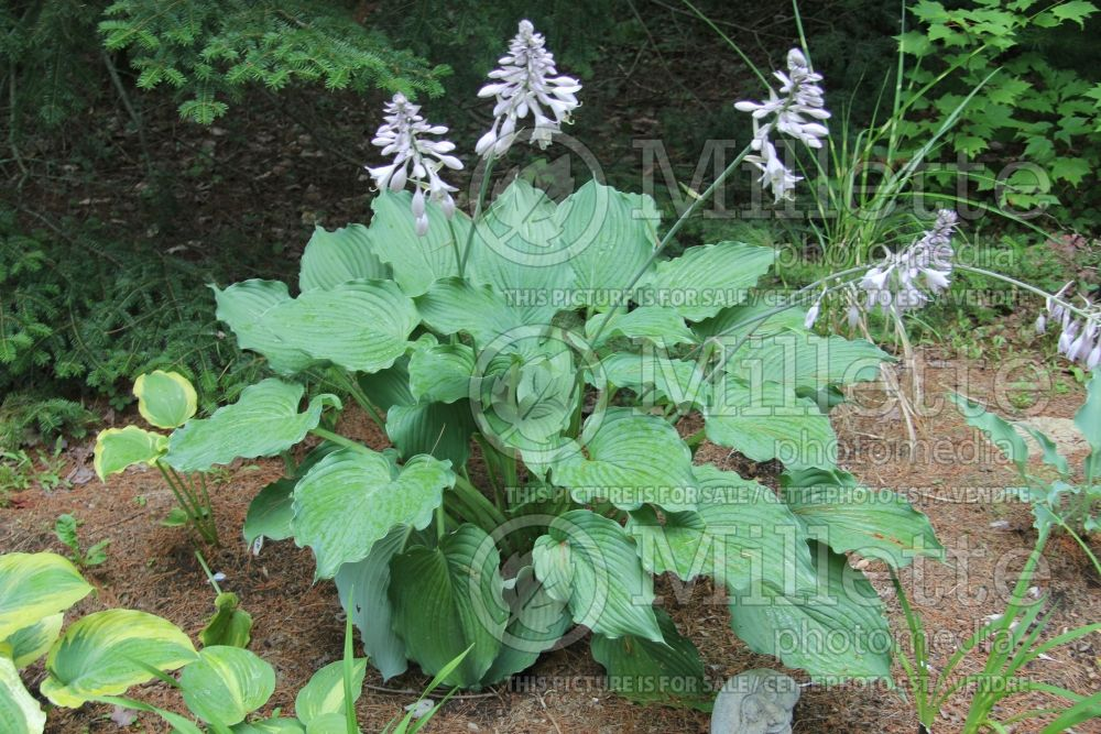 Hosta Komodo Dragon (Hosta funkia august lily) 4