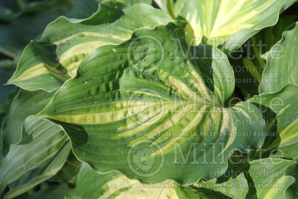 Hosta Lakeside Paisley Print (Hosta funkia august lily) 3
