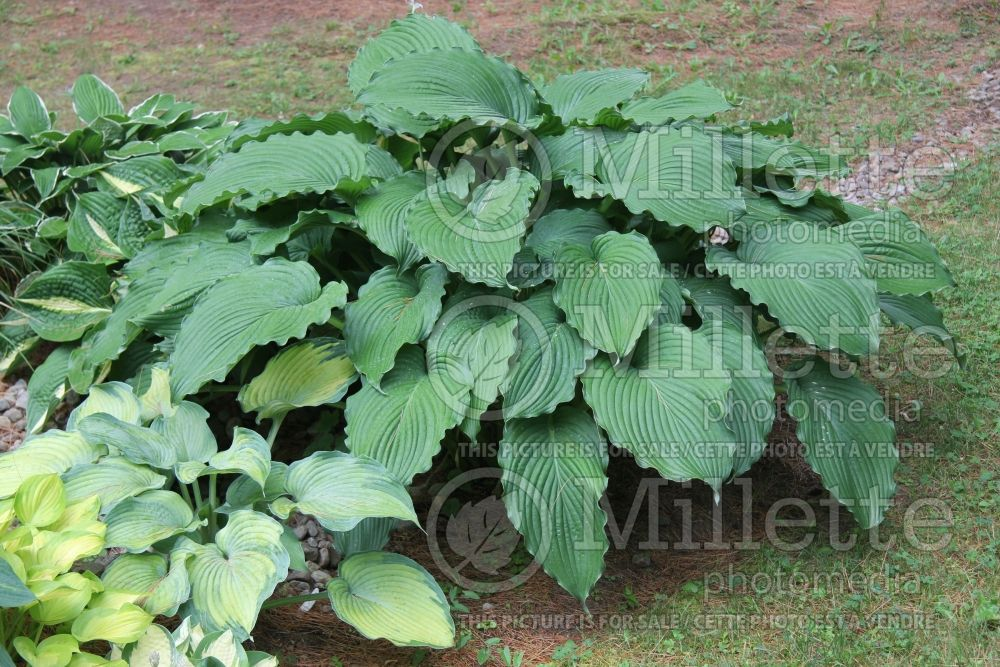 Hosta Lakeside Ripples (Hosta funkia august lily) 2