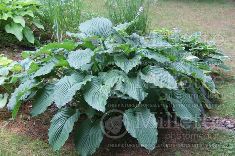 Hosta Lakeside Ripples (Hosta funkia august lily) 3