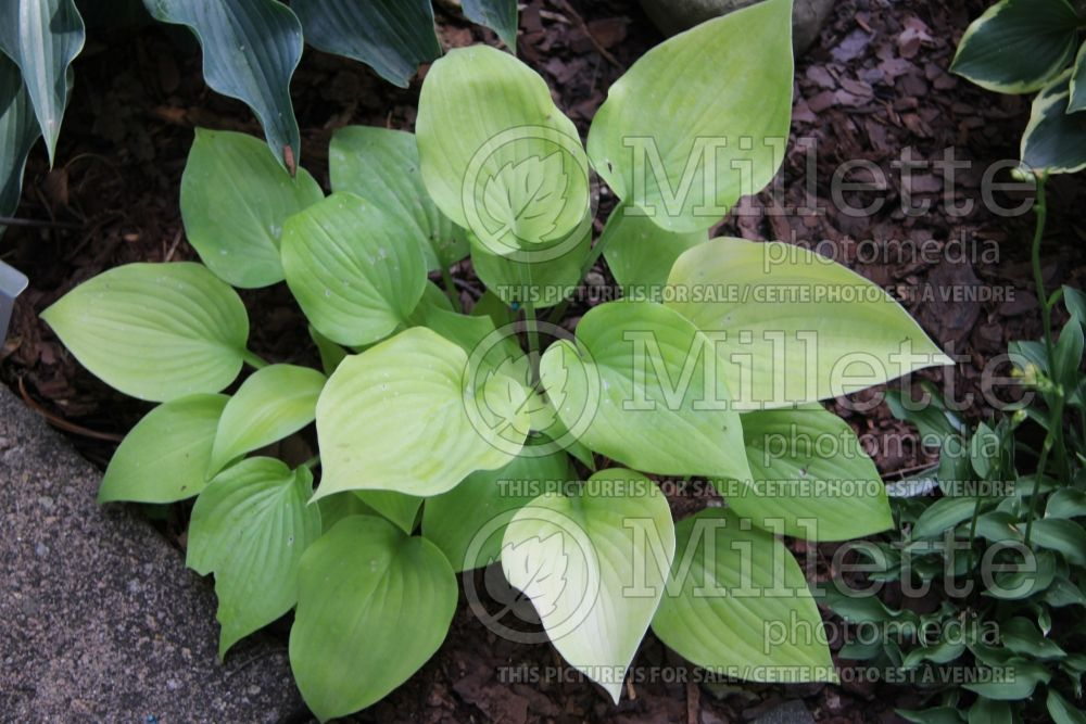 Hosta Lemontini (Hosta funkia august lily)  1
