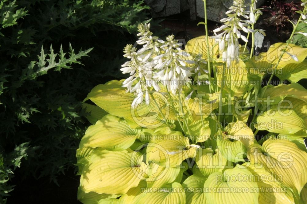 Hosta Made You Look (Hosta funkia august lily) 1